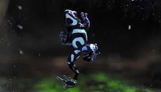 40 poison dart frogs seen in Singapore
