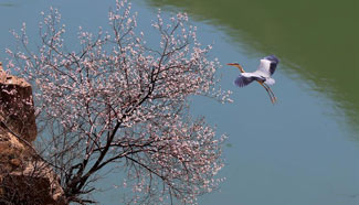 Herons seen in north China's Yuncheng City