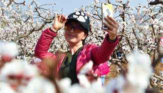 Scenery at apricot farm in north China