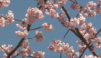 Sakura season, cherry blossoms blanket Tokyo