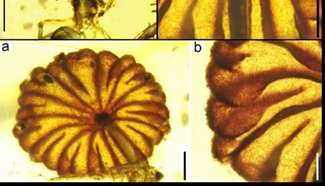 Scientists find earliest intact mushroom fossils