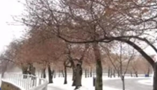 Washington DC's cherry blossoms awaken, get hit with snow