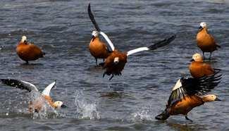 Aquatic birds seen in Jilin, northeast China