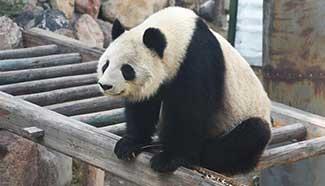 Aging panda Shu Lan returns to hometown for better care
