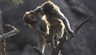 Macaques seen in Shuangta Mountain, north China