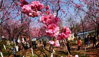 Cherry blossoms decorate park in Kunming