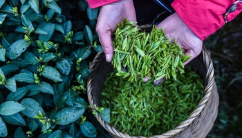 West Lake Longjing tea leaves harvested ahead of Qingming Festival