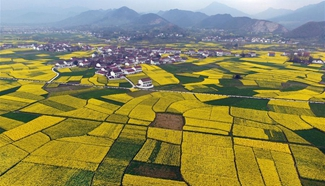 Cole flower festival held in northwest China