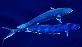 Dolphinfishes photographed in IODP expedition to South China Sea