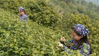 Harvest season for Biluochun tea variety comes to Suzhou