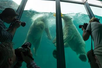 Newly arrived polar bears seen at Budapest Zoo
