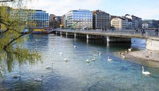 Swans seen in Geneva, Switzerland