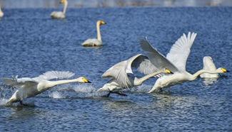 Wild white swans return to suburban Miyun District of Beijing