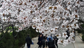 Purple leaf plum trees in full blossom in E China's Jinan