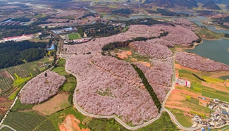 Cherry trees in full blossom attract numerous tourists in SW China city