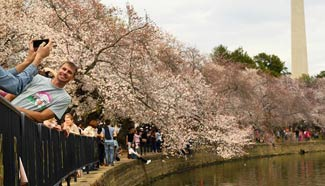 People enjoy cherry blossoms in Washington D.C.