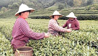 West Lake Longjing tea enters picking season, E China