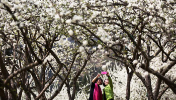 In pics: Scenery of plum flowers around China