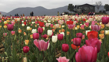 Tourists view tulip flowers in full blossom in east China's city