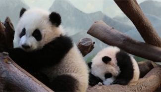US's only giant panda twins made their first expedition into an outdoor space