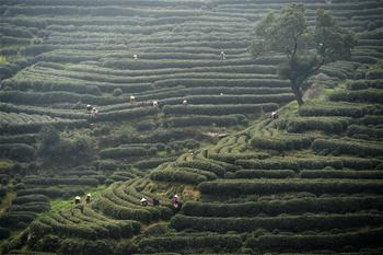 West Lake Longjing tea enters picking season