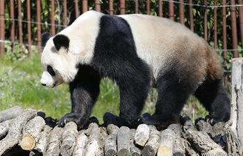 Chinese giant pandas live at Pairi Daiza zoo in western Belgium