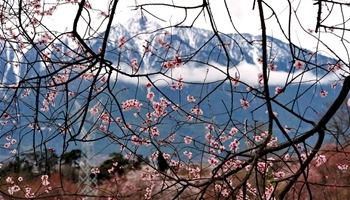 Peach blossoms pictured in front of snow mountain in Tibet