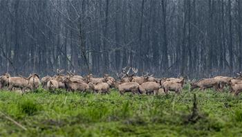 Nature reserve sees number of elks increase to 1,000 in China's Hubei