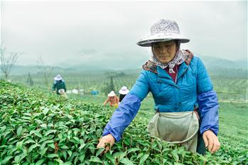 Tea leaves harvested ahead of Qingming Festival in SE China
