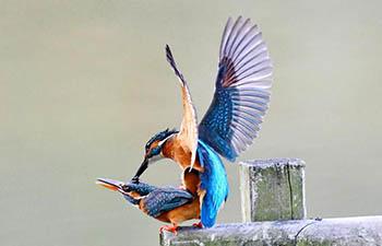 Kingfishers seen at park in Fuzhou, China's Fujian