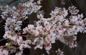 Cherry blossoms in full bloom across Tokyo