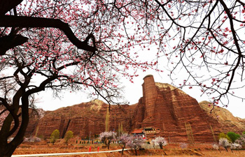 Apricot blossoms in NW China's Gansu