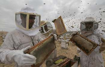 Palestinian beekeepers collect honey at honeybee farm