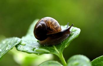 Snails creep on leaves in rain