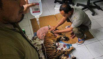 Sumatran Tiger cub dies after intensive care in Indonesia