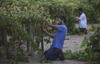 Palestinian farmers harvest grapes in Gaza City