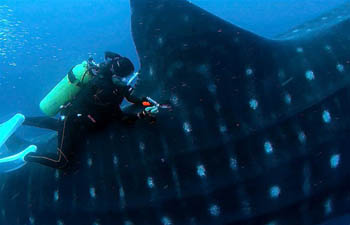 Study on whale shark carried out in Darwin Island, Ecuador