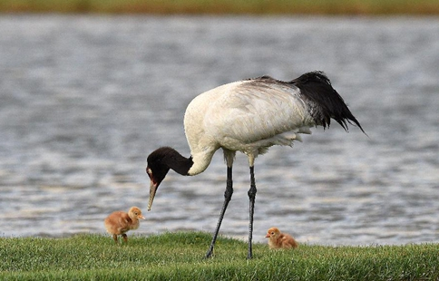 Environment of reserve improved for black-necked cranes in China's Tibet