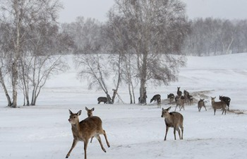 Deer seen on snowfield in N China