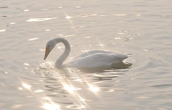 Wild swans migrate to N China's Shanxi from Siberia