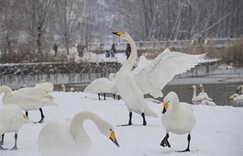 North China's Swan Lake witnesses 1st winter snowfall