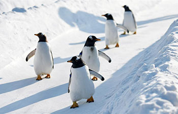 Penguins play on snowfield at Harbin Polarland in NE China
