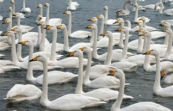 Swans seen at sea area in E China's Shandong