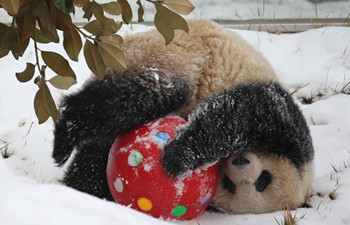 Giant panda plays in snow at Xi'an Qinling Zoological Park