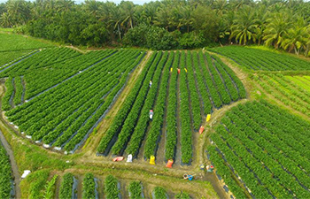 Farmers harvest peppers in south China's Hainan
