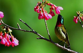 Birds amid cherry blossom