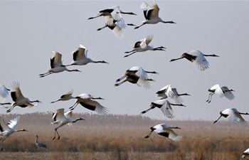 Red-crowned cranes seen in Yancheng, E China's Jiangsu