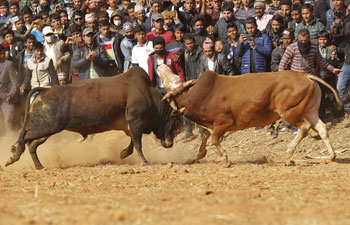 Bull fight held to celebrate Nepal's Maghesakranti Festival
