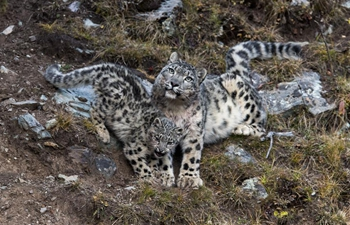 China home to between 2,000 and 2,500 snow leopards