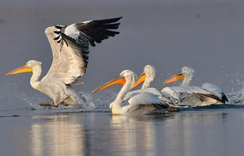 Dalmatian pelicans spend winter time in SE China